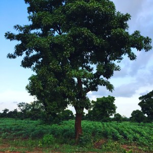Shea tree photographed on the road to Tale- theonlywayisghana
