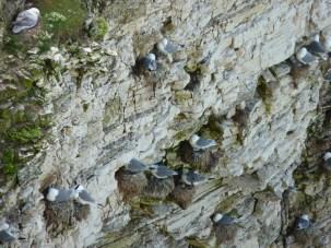 Nesting Kittiwakes with chicks at Flamborough head