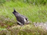 Nesting Arctic skua
