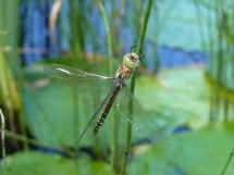 Hawker dragonfly