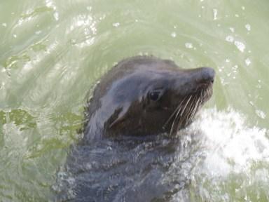 Seal at Marlo jetty