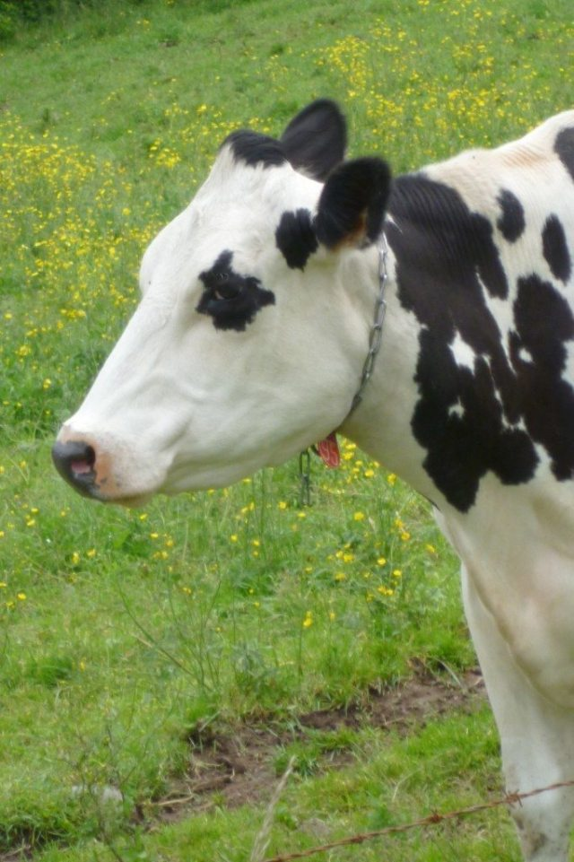cow-side-profile