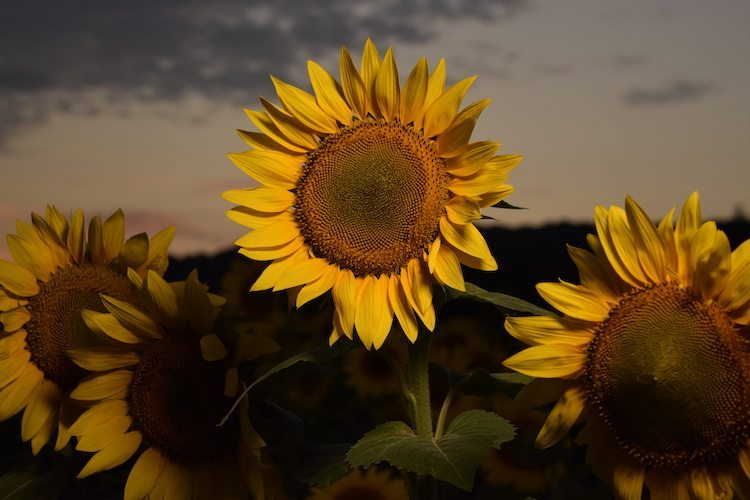 farms make perfect places to travel to see sunflower in field at dusk