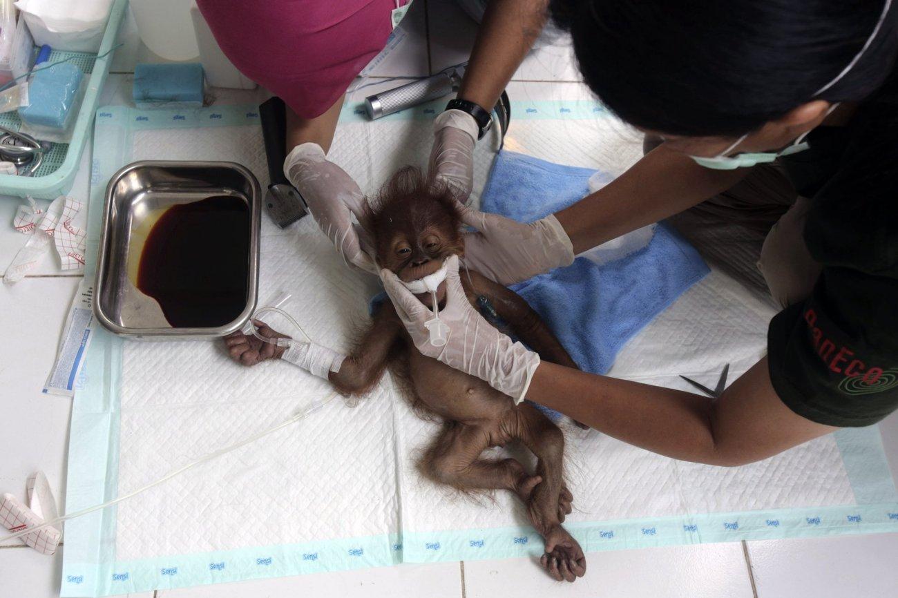 Orangutan mother blinded by air gun pellets in Indonesia