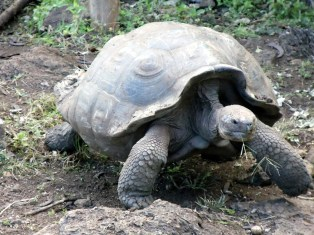 Giant Tortoise. Photos: Pixabay
