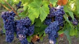 grapes_leaves_crop_fruit_5837_1366x768