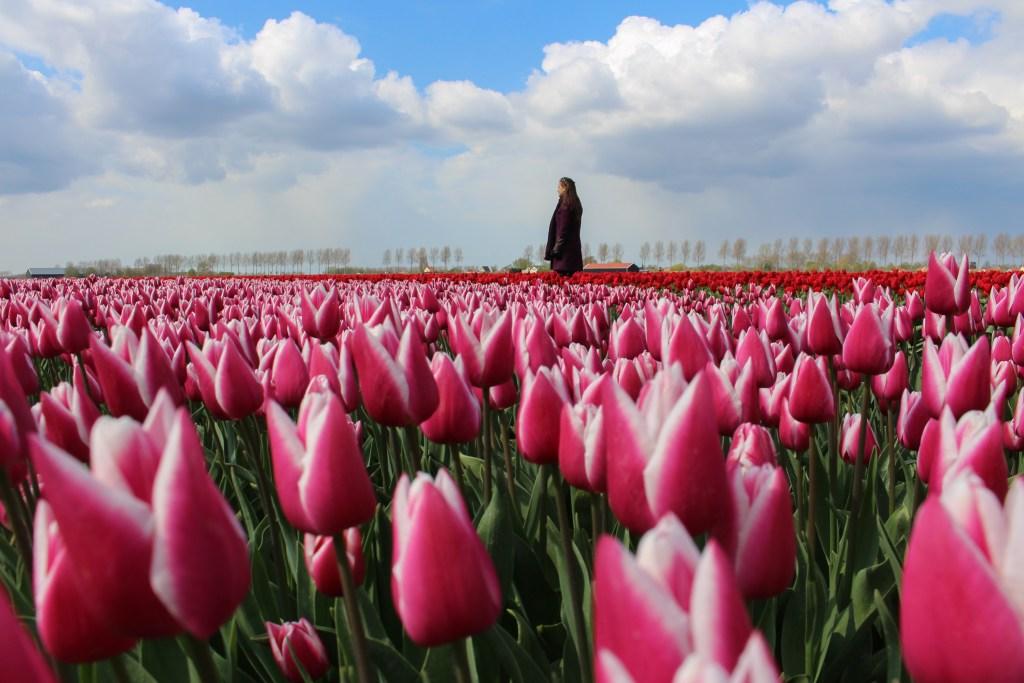 Tulpen   Tulips   Goeree-Overflakkee   Nederland   Netherlands   The Orange Backpack