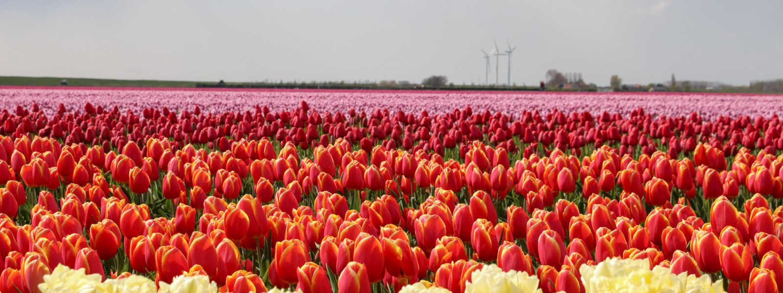 The Dutch tulip fields in pictures