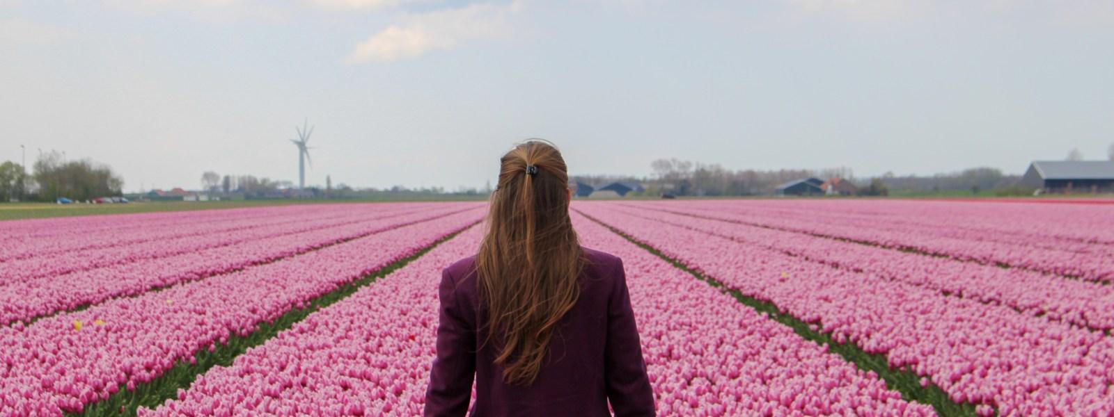 The tulip fields of Goeree-Overflakkee