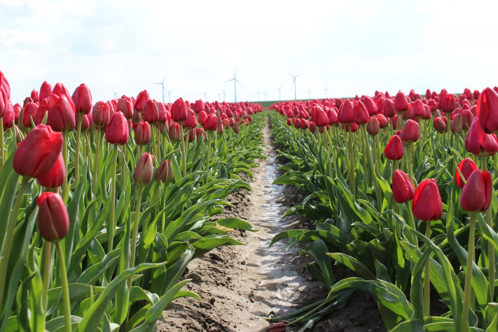 Tulpen | Tulips | Goeree-Overflakkee | Nederland | Netherlands | The Orange Backpack