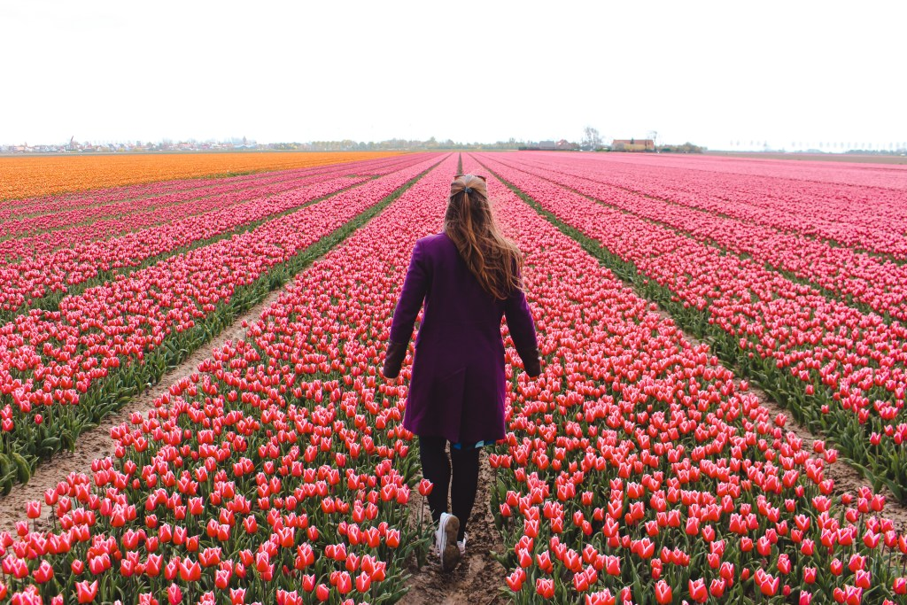 Eurovision Song Contest | Tulpenvelden Goeree-Overflakkee | Tulip fields | Songfestival in Rotterdam | The Orange Backpack