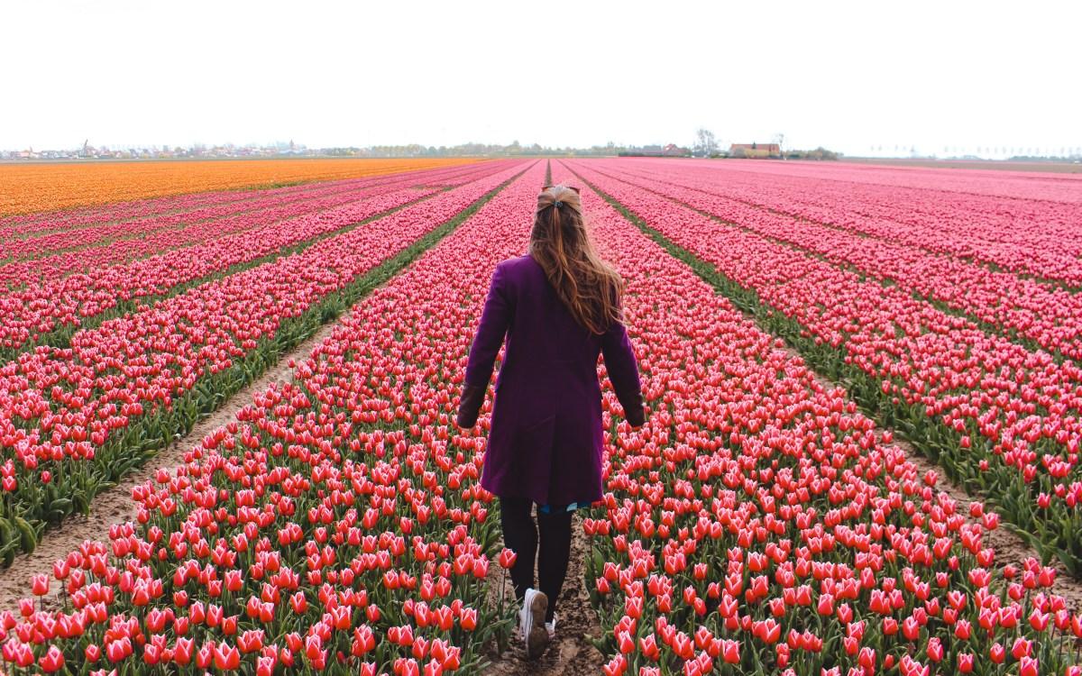 Tulpenroute Flevoland | Bollenroute | Tulpen Lisse