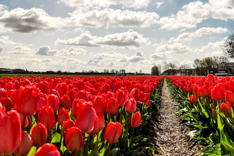 Bulb route South Holland Autoroute tulip fields Lisse