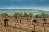 Thatchers Tree Planting 21st April 2017