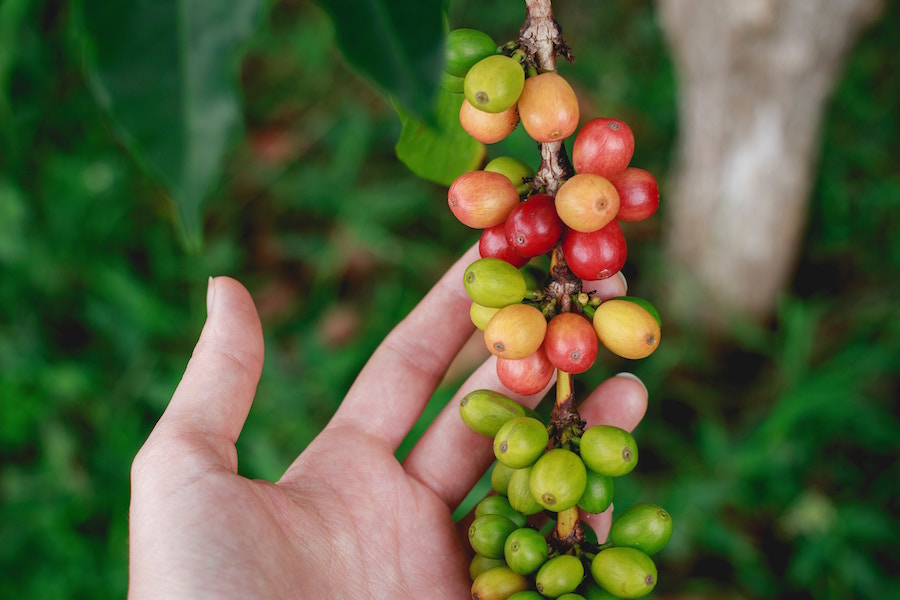 Green Coffee Bean Extract... Miracle Weight-Loss Supplement? | The Organic Beauty Blog