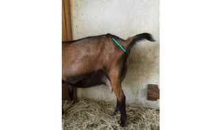 10 Signs That Your Goat Might Be In Labor!