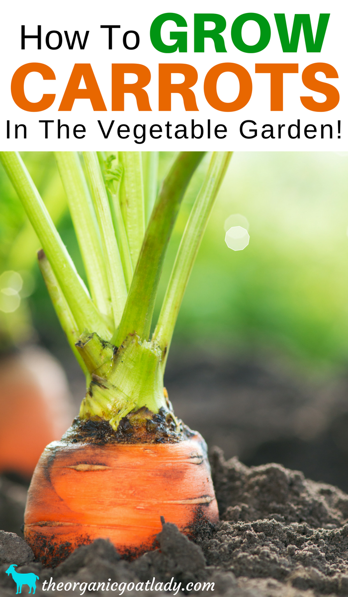 How To Grow Carrots In The Vegetable Garden