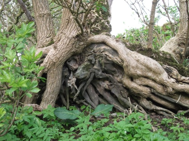 Kirbuster Tree Trowie