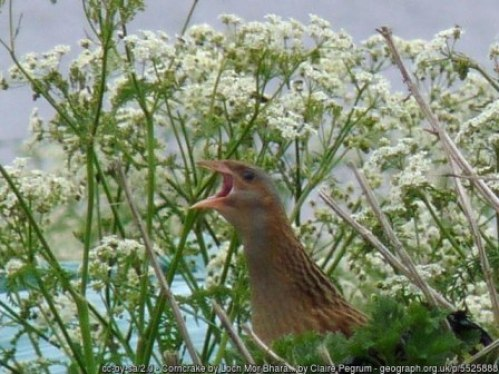 Corncrake by Claire Pegrum - Lewis