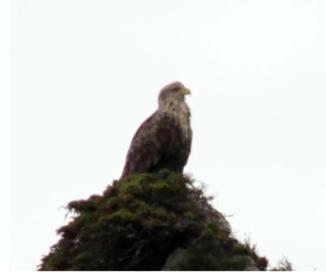 Eagle chick Eamonn Keyes