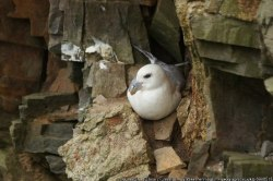 fulmar Mike Pennington