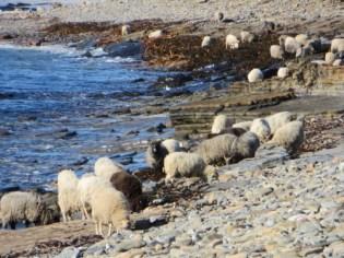 North Ronaldsay Sheep, Photo By Farmer Jane Cooper