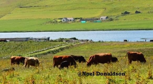 Westray farming