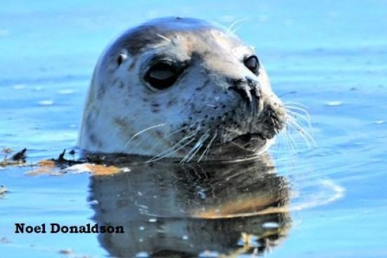 Westray Seal