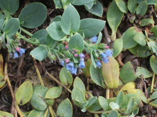 Oyster plant B Bell