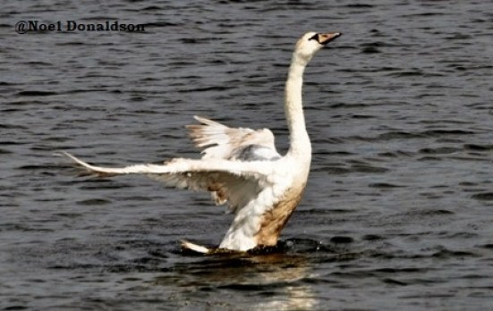 Swan at Pickie