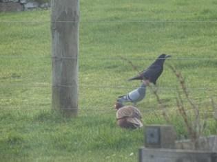 rook pigeon pheasant B Bell