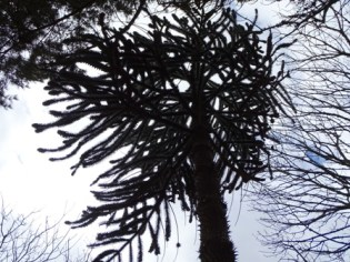 monkey puzzle tree Happy Valley Bell