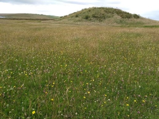 Brodgar wildflowers 1