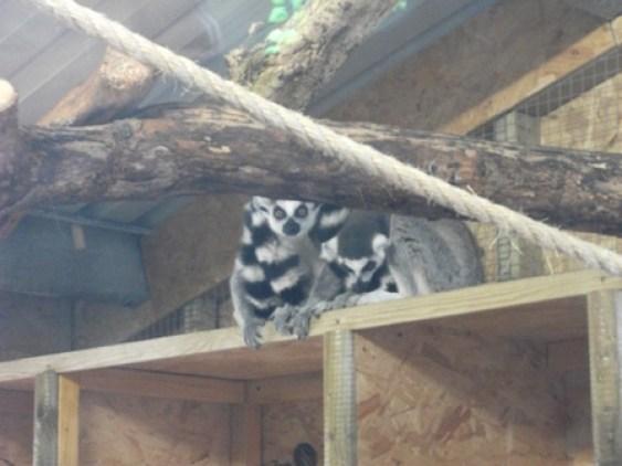lemurs 1 Bell