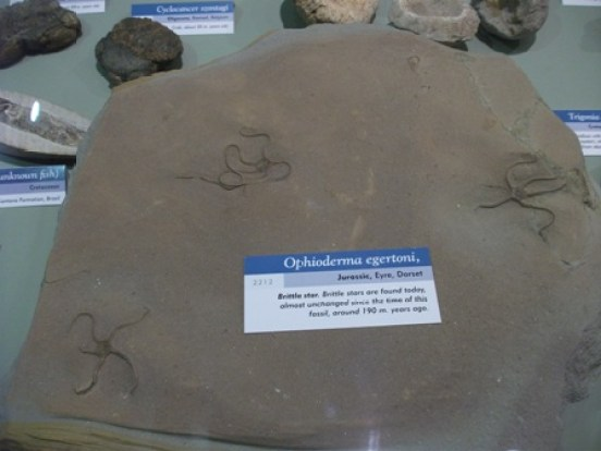 Fossil Centre brittle stars Bell