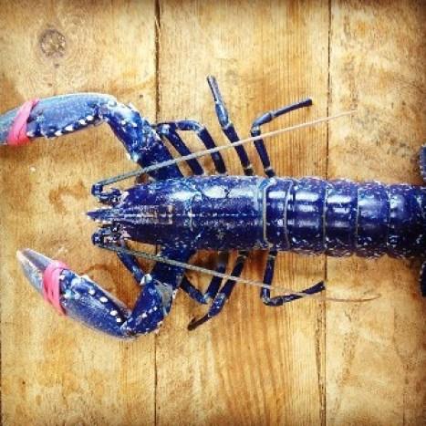 Orkney lobster