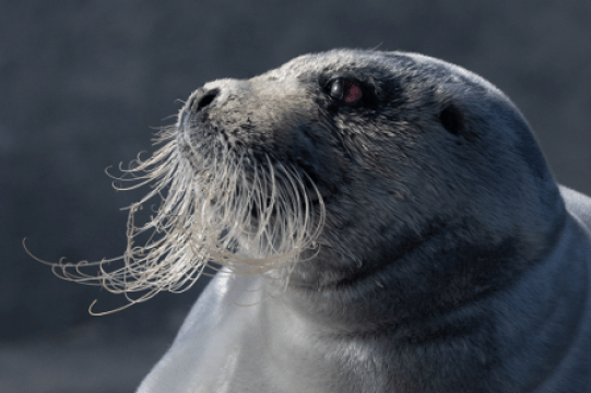 Bearded Seal by Austin Taylor from MPOY2019 Mammal Society