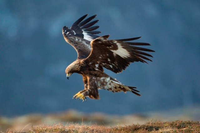 Golden eagle Aquila chrysaetos, sub-adult in flight, Norway, February