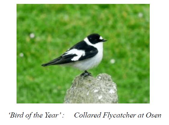 Stronsay birds 1 Collared Flycatcher