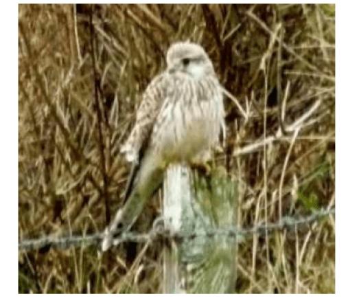 Stronsay birds kestrel