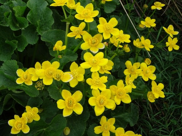 marsh marigolds Bell