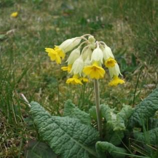 Bell Spring flower primula