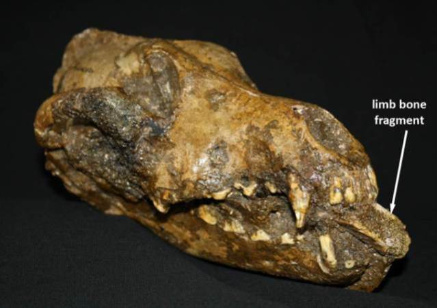 canid skulls associated with the remains of humans and mammoths at a 28.5 ka old site in the Czech Republic