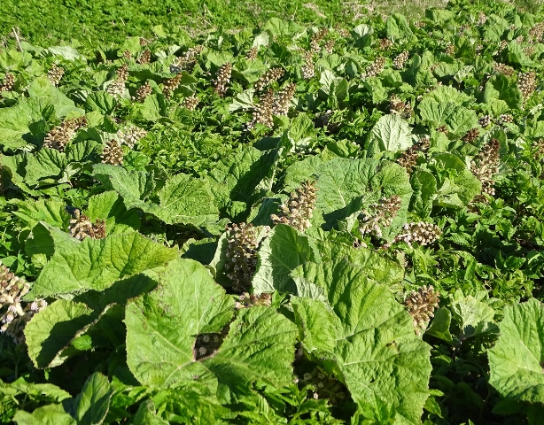 Butterbur Credit Mike Bell wild plant