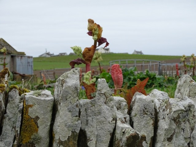 giant rhubarb plant credit Mike Bell