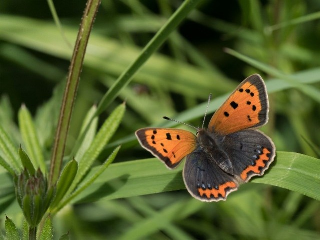 Small Copper  butterfly  Crd Mairi McIntosh