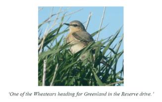 Wheatear bird Stronsay
