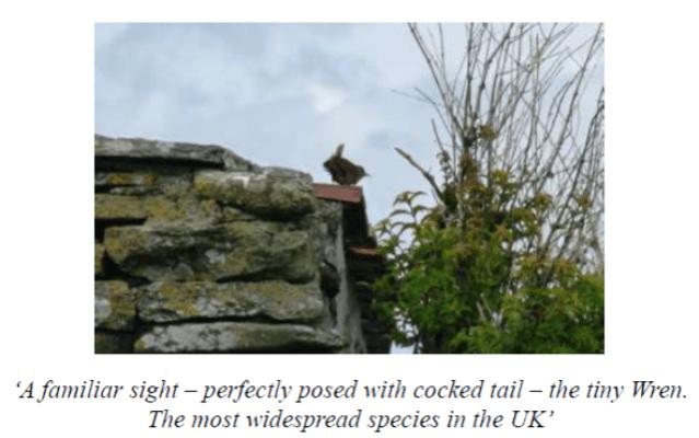 wren bird Stronsay