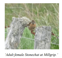 adult stonechat Stronsay credit Ian Cooper