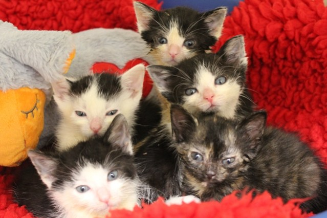 Buffy Kittens at Birmingham AC - credit Cats Protection (2)